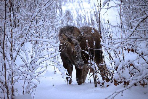 2019-11-30 moose calf 2