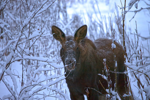 2019-11-30 moose calf 3