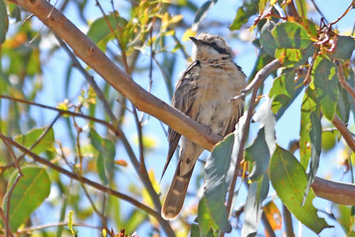 Black-eared Cuckoo (Chalcites osculans)