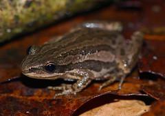 Boreal Chorus Frog (Psuedacris maculata)