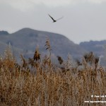 Aves en las lagunas de La Guardia (Toledo) 1-12-2019