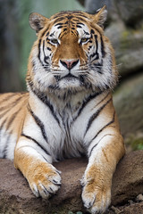 Siberian tiger posing