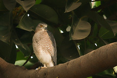 Shikra ...some where in the woods..
