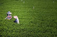 Tea Pickers at Choui Fong
