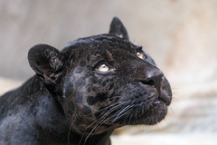 Portait of the male black jaguar