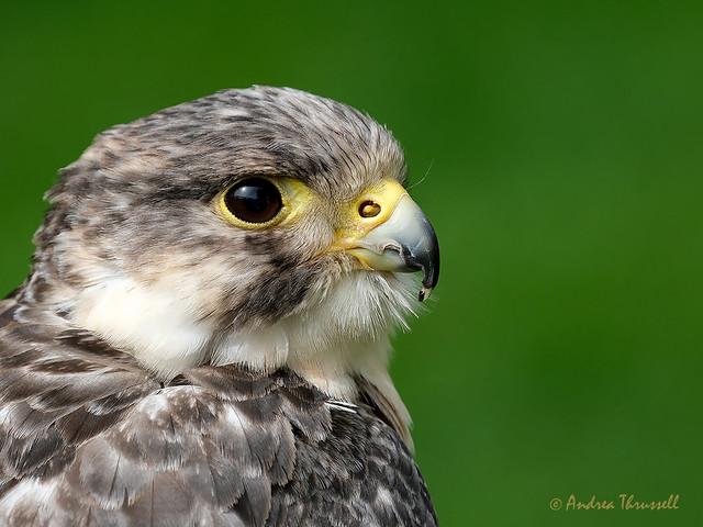 Falcon ?