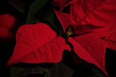 Poinsettia (Christmas Flower)