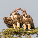 2nd PDI League 3 - Lappet-Faced Vultures-Breeding Pair by June Sparham