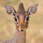 1st PDI League 3 - Dik-Dik Antelope Portrait-East Africa by June Sparham