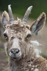 Cute young ibex