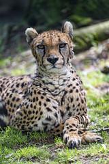 Serious cheetah looking at me