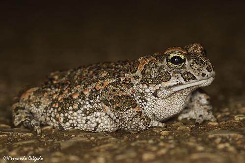Sapo Corredor (Epidalea calamita) | Natterjack Toad