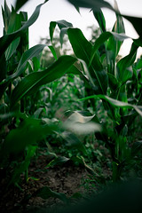 High stalks of corn with green leaves in the field
