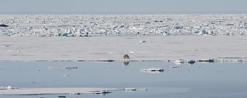 ... verso l'80° parallelo nord (18) ... l'orso, il suo mondo e le sue prede ...