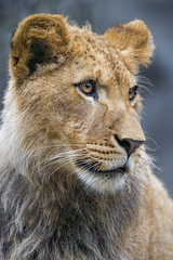 Portrait of the young lion
