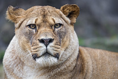 Lioness with round head looking at me