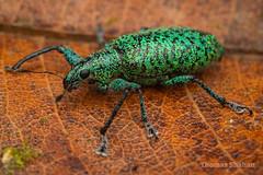 Hadromeropsis sp weevil - metallic green scales - Mindo, Ecuador