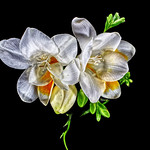 Freesias on black by Paul