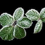 Frozen Blackberry leaves by Paul Seymour