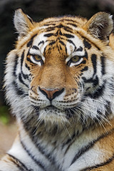 Portait of the female tiger