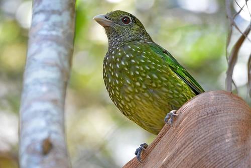 Green Catbird_6746