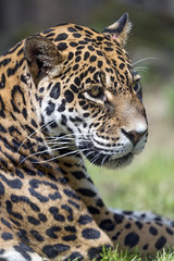 Profile of the jaguaress