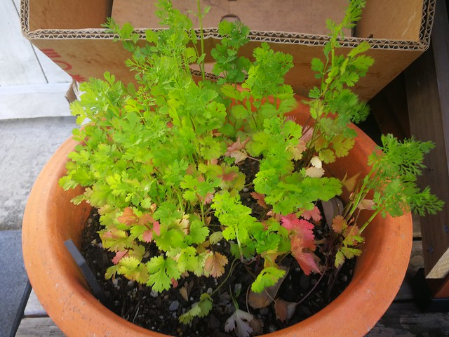 coriander planting in The Deck by shiny
