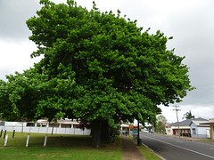 Apsley. Side view of two  English oak trees  which were planted in 1902 to commemorate the relief of Mafeking by Colonel Robert Baden-Powell and his British troops during the Boer War in May 1900.