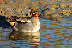 TEAL (Male)
