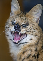 Angry serval, again...