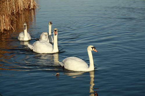 My Favourite Swan family on A Beautiful December day