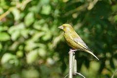 Greenfinch P8970913