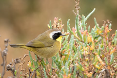 Common Yellowthroat (male) amongst the Pickleweed