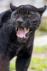 Black jaguar with open mouth