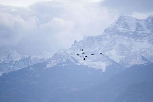 Wildvögel im Flug
