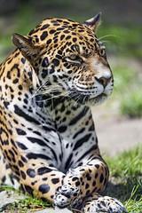 Female jaguar, relaxing...