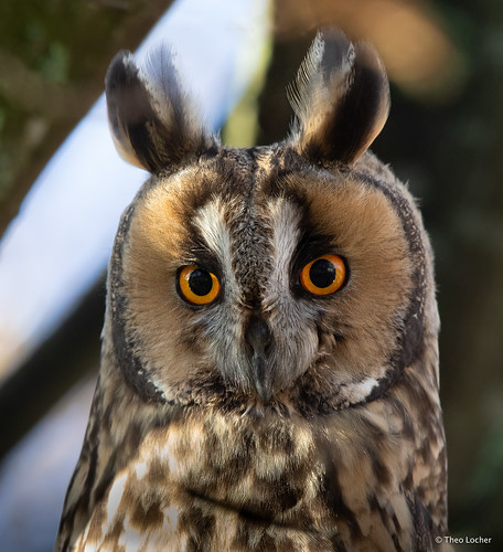 Long-eared Owl - Ransuil - Asio otus -9144