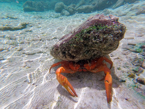 Red Crab of Christmas Island