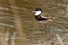 Red-kneed Dotterel (1315)
