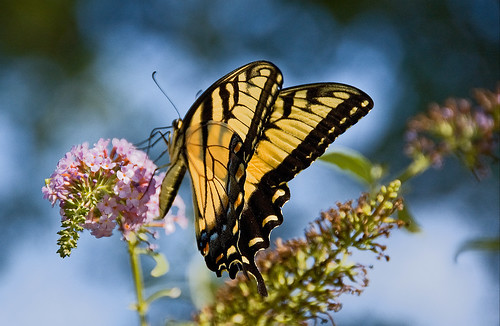 ~Eastern Tiger Swallowtail~