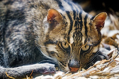Lying fishing cat, looking at me
