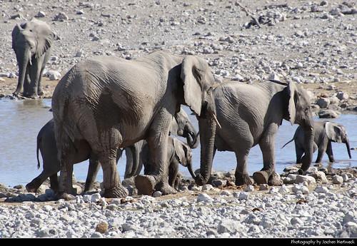 Elephant herd, Etosha NP, Namibia