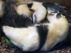 Tamandua cuddling with offpring