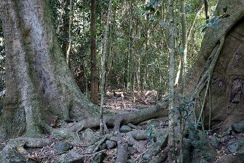 Small leaf fig (Ficus obliqua) on right
