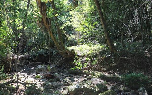 Birds nest fern (Asplenium australasicum)
