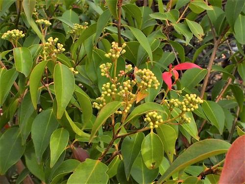 Buds of Backhousia tetraptera