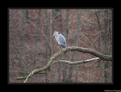 Étang Neuf- Coye-la-Forêt. Forêt de Chantilly- Oise- France