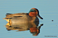 Male Teal.