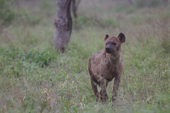 Spotted hyena, Crocuta crocuta, also known as the laughing hyena, at Kruger National Park, South Africa.
