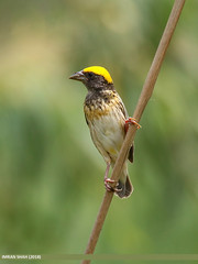 Black-breasted Weaver (Ploceus benghalensis)